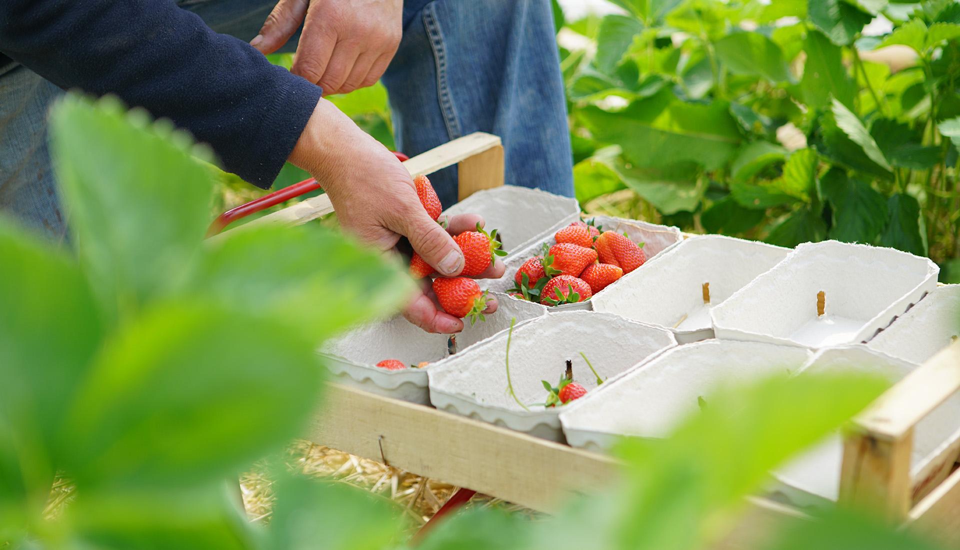 Erntefrische Erdbeeren auf dem Hofgut Dagobertshausen