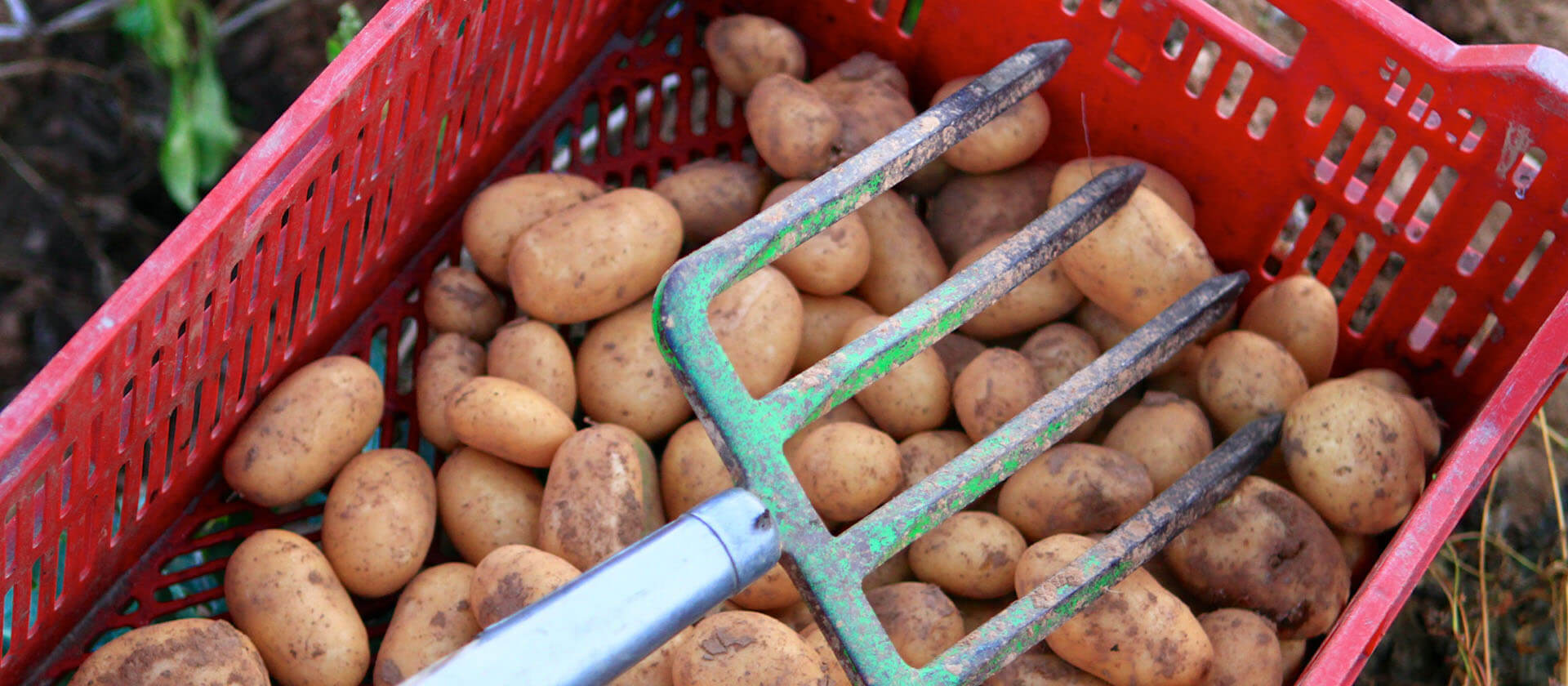 Alte Kartoffelsorten auf dem Hofgut Dagobertshausen