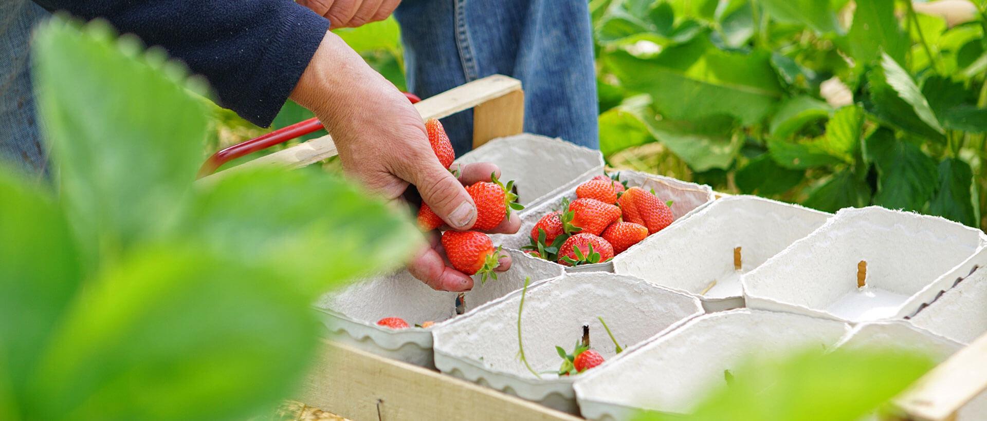 Feldfrische Erdbeeren vom Hofgut Dagobertshausen