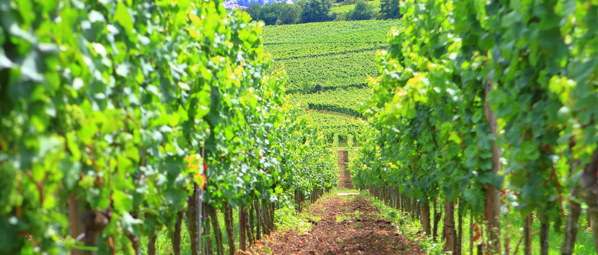 Weinlagen des Weingut am Nil in Kallstadt