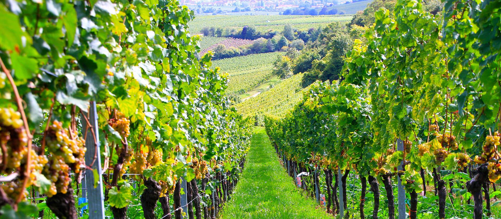 Weinberge des Weingut am Nil